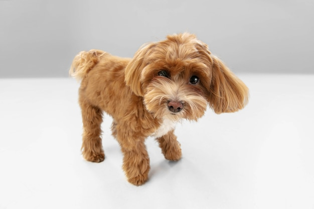 행복. 말티푸 작은 강아지가 포즈를 취하고 있습니다. 흰색 스튜디오 배경에서 놀고 있는 귀여운 장난기 넘치는 브라운 강아지나 애완동물. 움직임, 행동, 움직임, 애완동물 사랑의 개념. 행복하고, 기쁘고, 재미있어 보입니다.