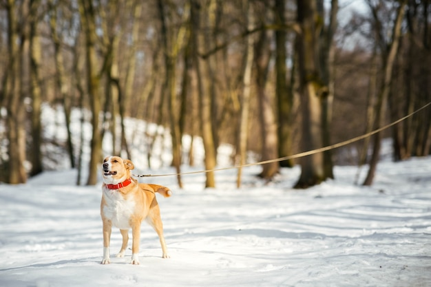 Happy akita-inu dog stands on the path in winter park