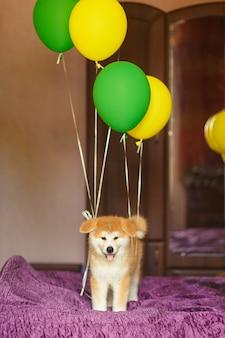 幸せな秋田犬の子犬は、新しい家族で彼の養子縁組を祝います