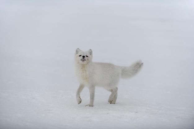 Happy arctic fox in winter tundra. funny arctic fox.