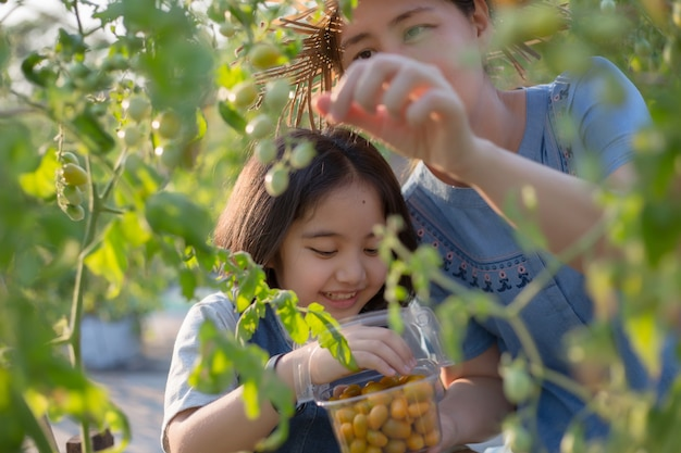 Happy asian child helping her mother harvest little tomato in the farm