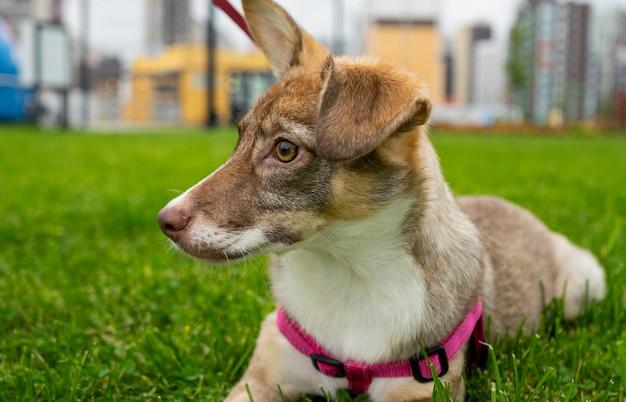 緑の公園を散歩している幸せな大きな光の子犬。品種間の交配