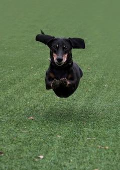 Счастливая черно-коричневая такса работает. порода такса, колбасная собака, такса на прогулке. собака на летнем фоне.