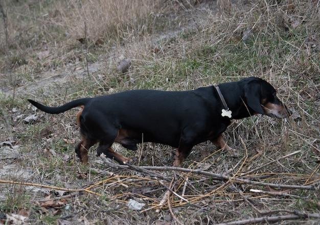 Счастливая черно-коричневая такса работает. порода такса, колбасная собака, такса на прогулке.