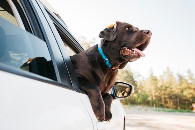 Happy black dog in car