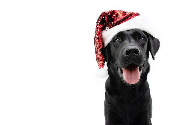 Happy black labrador puppy dog celebrating christmas with a red glitter santa claus hat.