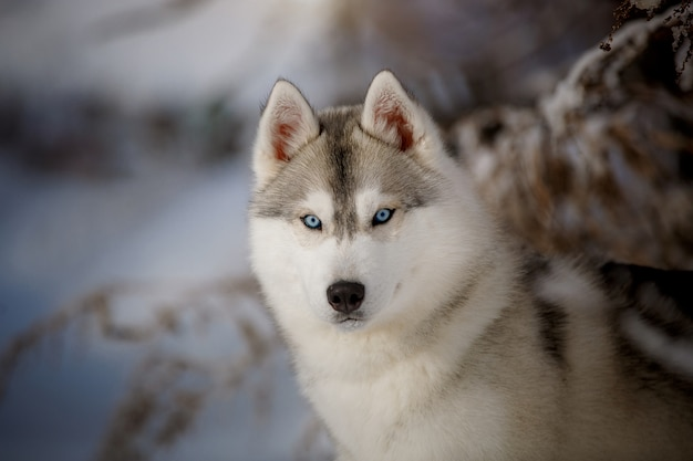Happy blue-eyed siberian husky rejoices on a walk in the snow.