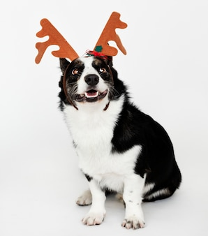 Happy cardigan welsh corgi wearing antlers