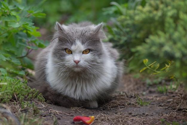 Samer 시간 시즌에 필드에서 행복 한 고양이. 풀밭에서 편안한 고양이. 일몰에 필드에 정원에 누워 아름 다운 고양이.