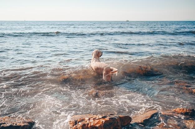 행복 명랑 골든 리트리버 수영 달리기 점프는 여름에 바다 해안에 물로 재생