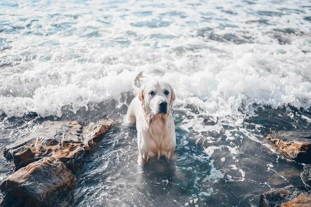 Happy cheerful golden retriever swimming running jumping plays with water on the sea coast in summer