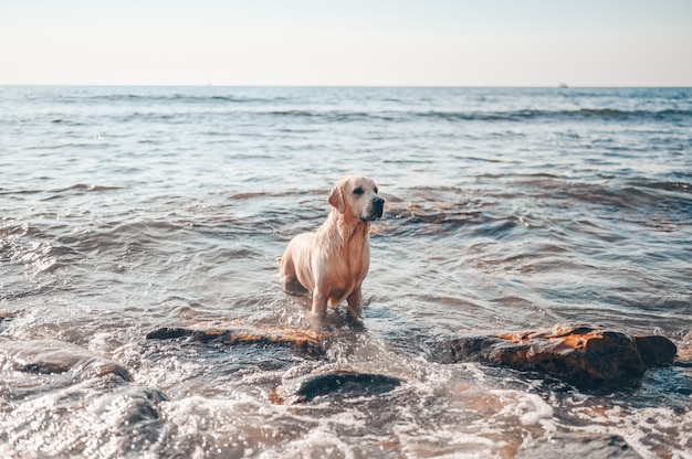 Happy cheerful golden retriever swimming running jumping plays with water on the sea coast in summer.