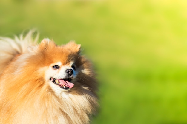 Happy cheerful pomeranian spitz dog, fluffy smiling puppy looking up on green grass background. copy space, place for text.