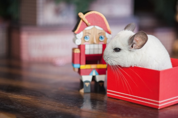 Happy chinese new year 2020 year of rat. portrait of cute white chinchilla on the background of the christmas tree