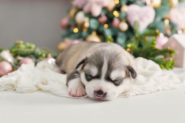 ハッピークリスマス犬、ハスキーの生まれたての子犬。シベリアンハスキーのクリスマスと新年の子犬。中国の星占いとカレンダーのテンプレートです。
