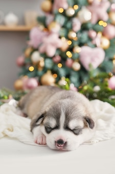Happy christmas dog, husky newborn puppy. christmas and new year  puppy of siberian husky. template for chinese horoscope and calendar.