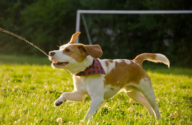 Happy cute beagle puppy running in the field