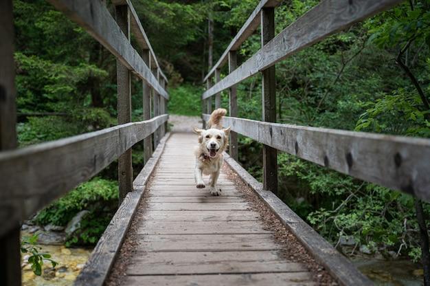 푸른 자연으로 둘러싸인 강을 가로질러 나무 다리를 달리는 행복한 귀여운 강아지.