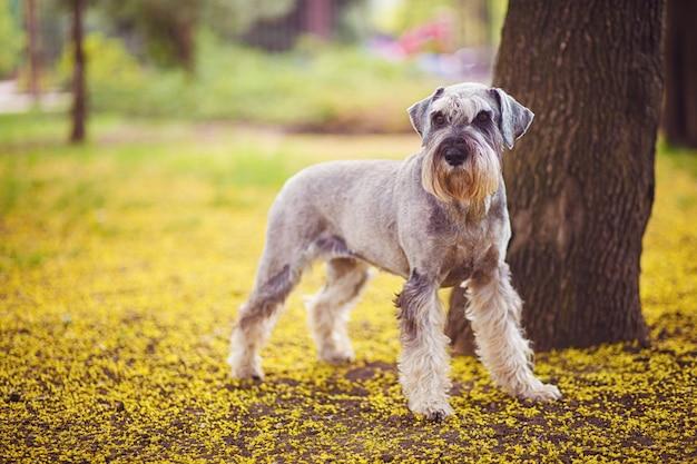 Веселая, милая, забавная собачка ризеншнауцер, гуляющая в летнем парке