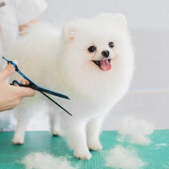 サロンで手入れされて幸せなかわいい白いポメラニアン犬
