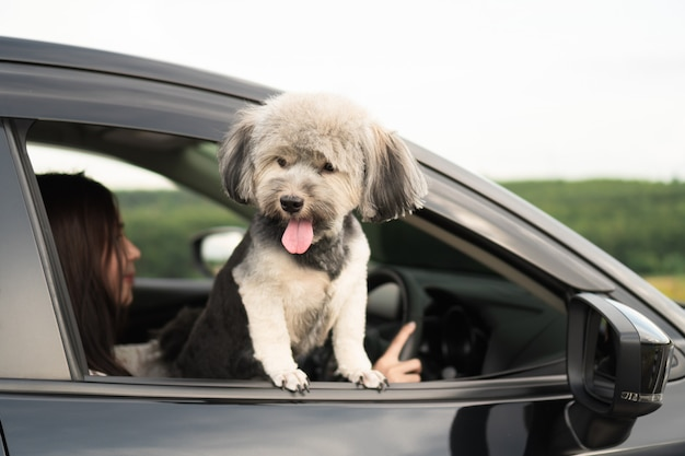 Happy dog is looking out of window of black car, smiling with tongue hanging out and drive