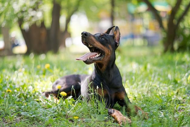 ドーベルマンピンシャー犬種の幸せな犬は緑の草にあります