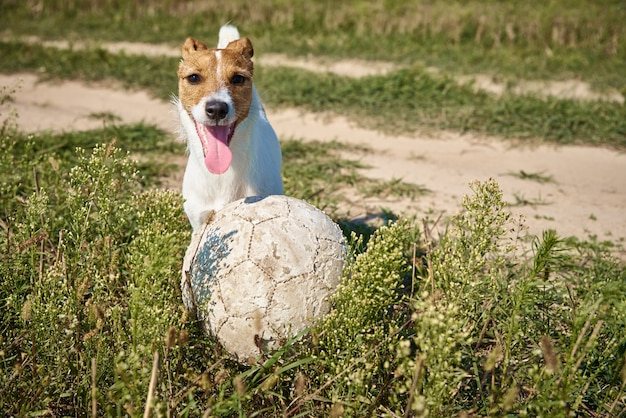 Happy dog play with ball in the field in summer day. jack russel terrier dog playing outdoors