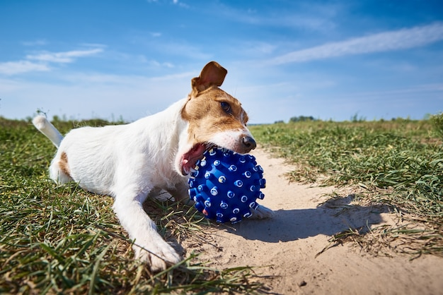 Happy dog play with ball in the field in summer day