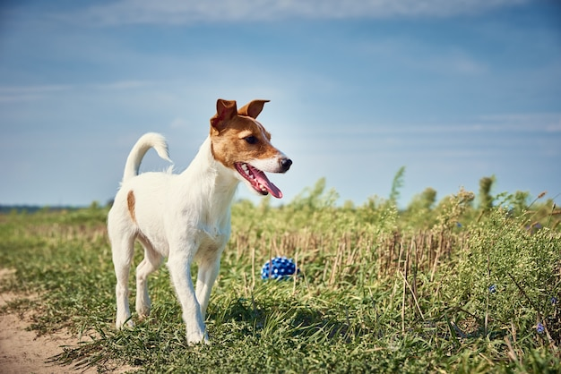 여름 날에 필드에 공을 가지고 노는 행복 한 개. 잭 러셀 테리어 개 야외에서 연주