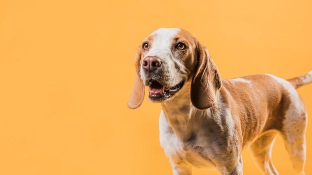 Счастливая собака позирует перед желтой стеной