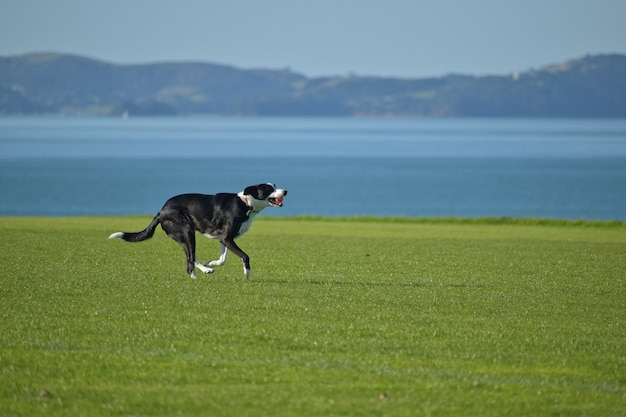 Happy dog running on a field with a blue sea and island