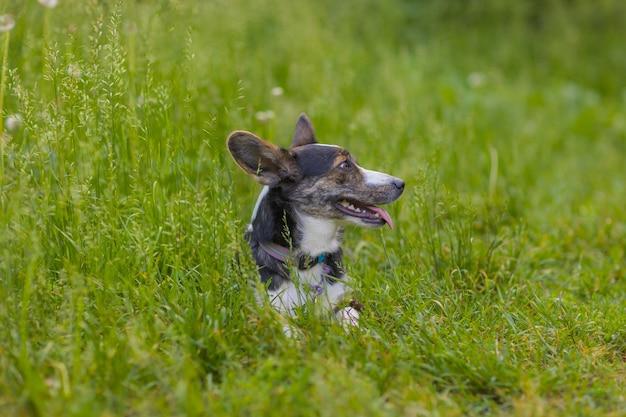 녹색 잔디 corgi에서 실행하는 행복 한 개