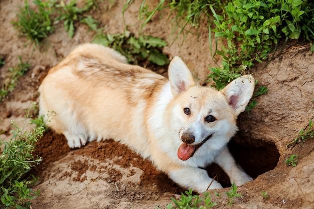 행복한 개 웨일스 어 corgi pembroke가 땅에 구멍을 파고 있습니다. 여름에 야외에서 시간을 보내는 순종 개, 개의 활동.