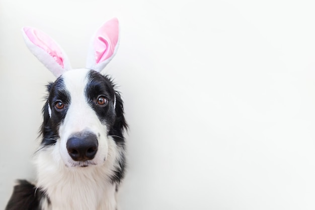 Happy easter concept. funny portrait of cute smiling puppy dog border collie wearing easter bunny ears isolated on white background