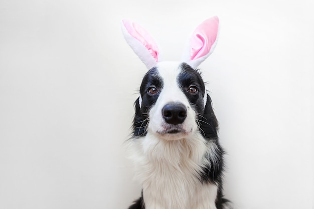Happy easter concept. funny portrait of cute smilling puppy dog border collie wearing easter bunny ears isolated on white