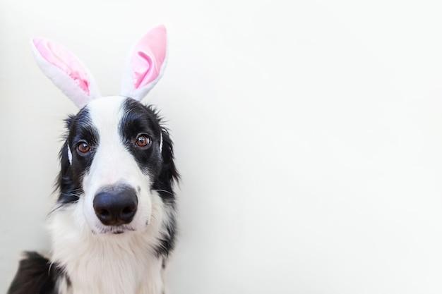 Счастливой пасхи концепции. забавный портрет милого улыбающегося щенка бордер-колли в ушах пасхального кролика на белом фоне