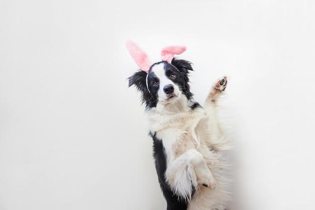 ハッピーイースターのコンセプトです。白で隔離されるイースターのウサギの耳を着てかわいいsmilling子犬犬ボーダーコリーの面白い肖像画