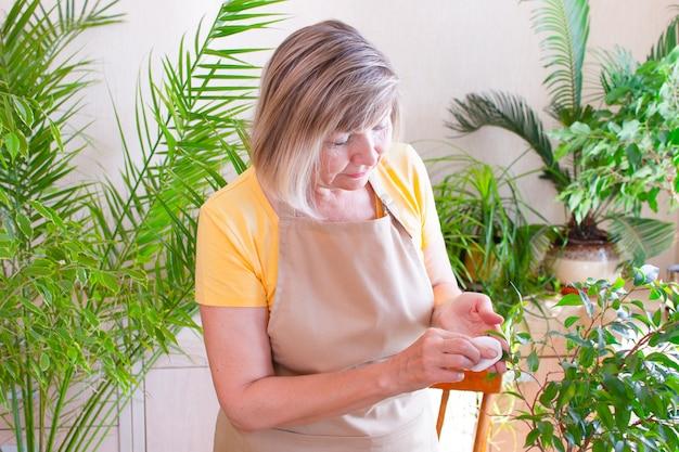 Счастливая пожилая женщина вытирает зеленый лист, заботится о растении в горшке. домашнее садоводство. любовь к растениям.