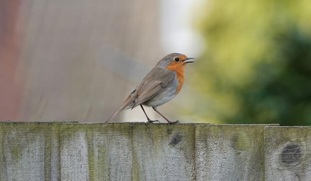 열린 입으로 나무 판자에 서 있는 행복한 유럽 로빈 새