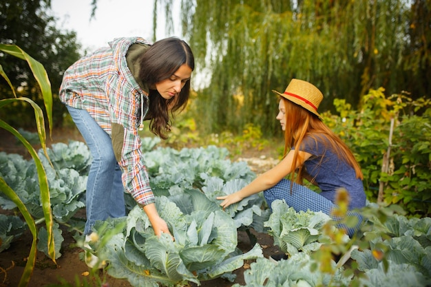 Happy family during picking cabbage in a garden outdoors