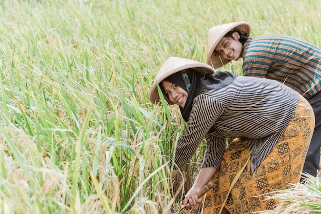 Happy farmers harvest rice together with sickles during the day