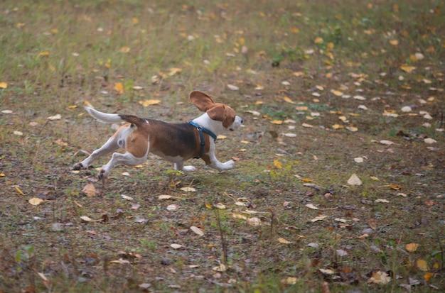 秋の牧草地や公園で走っている幸せな面白いビーグル犬