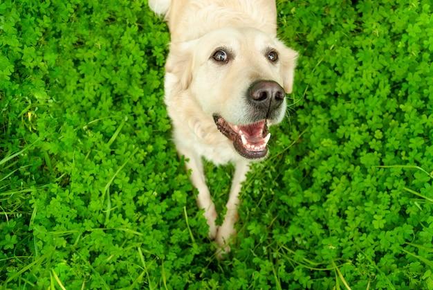 緑の草の背景の上に横たわっている彼の開いた口を持つ幸せな面白い犬ゴールデンレトリバー白いラブラドール。動物のコンセプトとライフスタイルへの愛。上面図