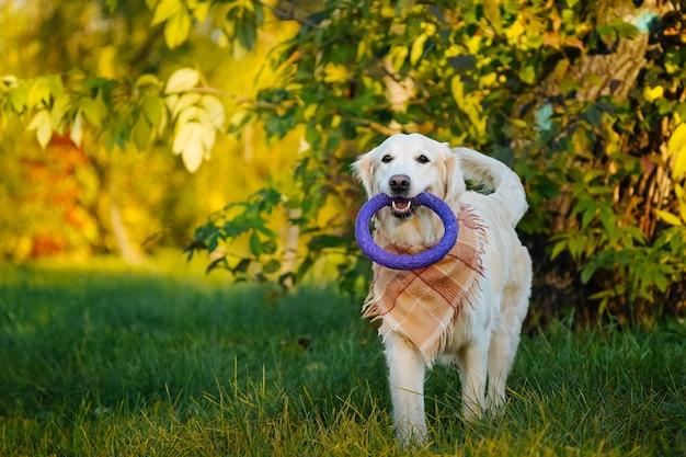 행복한 골든 리트리버는 가을 공원에서 그의 이빨에 보라색 부드러운 반지 장난감을 운반합니다