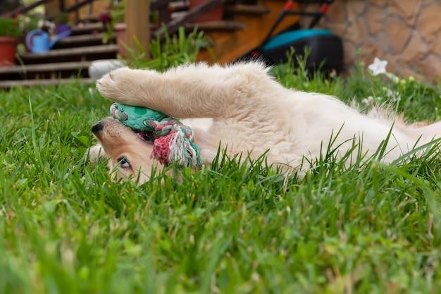幸せなゴールデンレトリバーは、緑の芝生の裏庭に横たわって、おもちゃで遊んでいます。