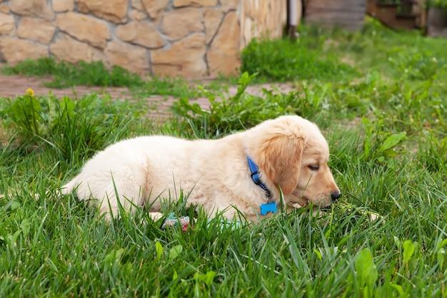幸せなゴールデンレトリバーは、緑の芝生の裏庭に横たわっています。