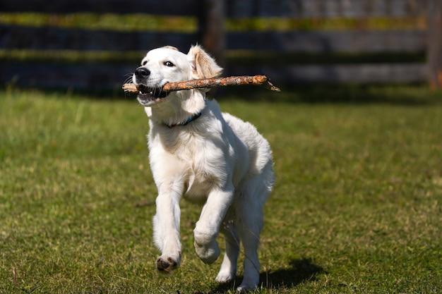 행복한 골든 리트리버 강아지는 잔디밭을 가로질러 달리고 이빨에 막대기를 들고 있다