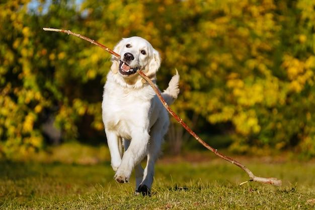 幸せなゴールデンレトリバーの子犬は秋の公園で彼の歯に長い棒で実行されます