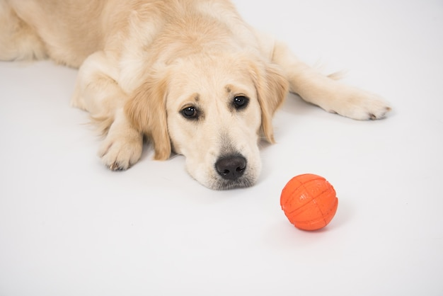 Happy golden retriever purebred dog laying on dog bed with ball toy