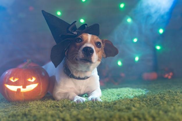 Счастливого хэллоуина. собака pet джек рассел терьер в костюме и на фоне тыкв дымовые фонарики скелеты на хэллоуин страшно